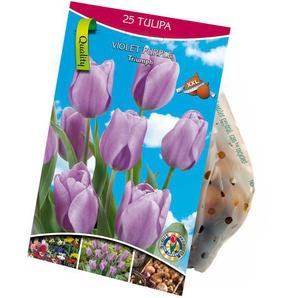 Triumph-Tulpen violett 25 XXL-Zwiebeln