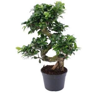 Baum: Bonsai-Baum/ 2