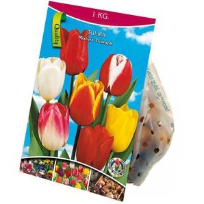 Tulpen-Mischung 1 kg XXL-Zwiebeln