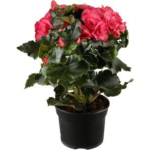 Begonie rosa, 17 cm Topf