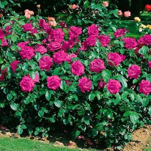 Beetrose »Heidi Klum Rose®«
