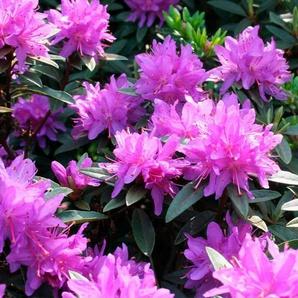 Rhododendron »Zwergrhododendron Ramapo«