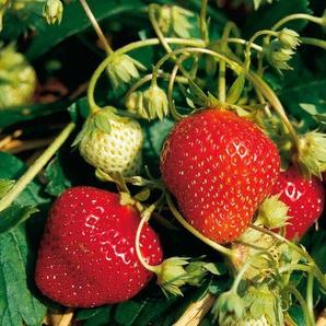 Erdbeere »Mara des Bois«