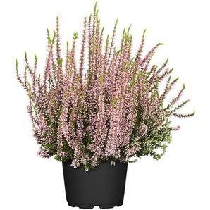 Knospenheide Gardengirls® rosa 10,5 m Topf, 3er-Set