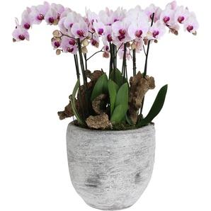 Orchideen-Arrangement 4 weiß-violette Orchideen im grauen Topf