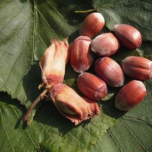 Haselnussbaum »Maxima Purpurea«, violette Blütenkätzchen und mittelgroße Nüsse, frosthart