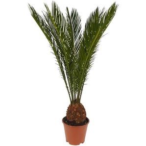 Luftverbesserer Palmfarn 14 cm Topf