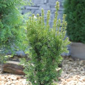 Hecke »Eibe Hicksii«, Höhe: 60-80 cm, 2 Pflanzen