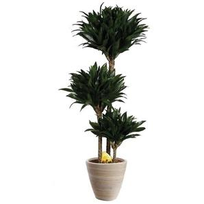 Zimmerpflanze »Drachenbaum Compacta«, 25 cm