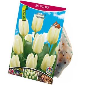 Fosteriana-Tulpen weiß 25 XXL-Zwiebeln