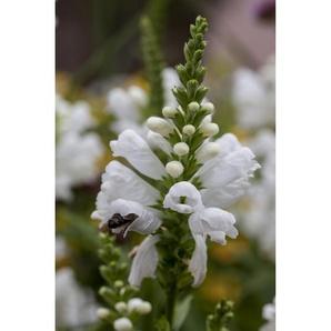 Gelenkblume Schneekrone, 9 cm Topf, 3er-Set