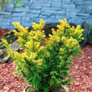 Hecke »Eibe Semperaurea«, Höhe: 30-40 cm, 9 Pflanzen