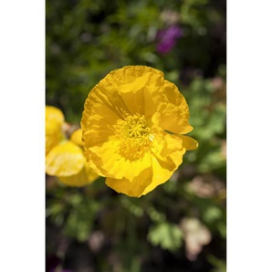 Islandmohn Pulcinella Yellow, 9 cm Topf, 3er-Set