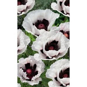 Orientalischer Mohn Perrys White, 9 cm Topf, 3er-Set