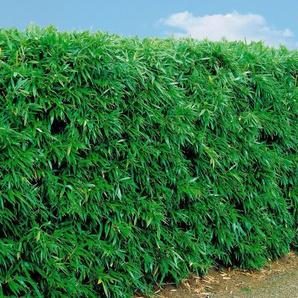 Bambus »Rufa«