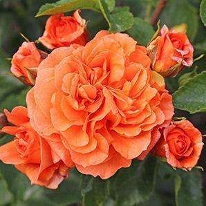 Kordes Rosen Orangerie Beetrose orange 12 x 12 x 40 cm
