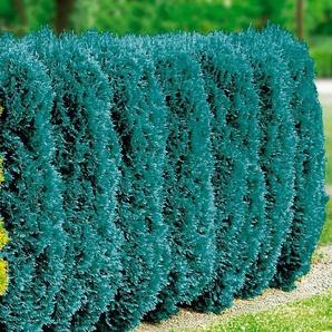 BCM Hecke »Blaue Scheinzypresse«