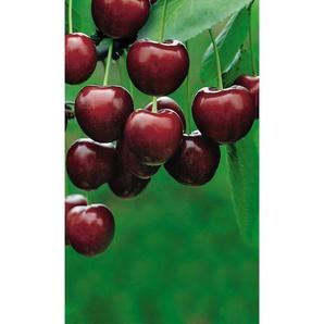 Naturtalent by ® Bio Säulensüßkirsche Aroma Spur®