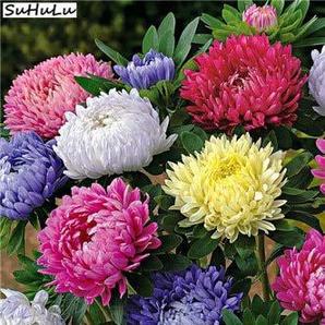 AGROBITS 1 Beutel 200 Stück Golf China Hybrids Aster Chrysantheme-Blumen-Bonsai Starke Fähigkeit für Hausgarten-Easy to Pflanzenzucht: O