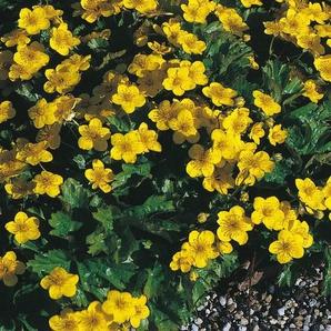 Bodendecker »Dreiblatt Golderdbeere«