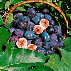 Obst »Feigenbaum«