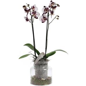 Orchideen-Arrangement 1 weiß-lila Kuhflecken-Orchidee im Glas