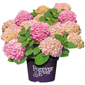 BCM Hortensie »Forever and Ever Pink«, Höhe: 30-40 cm, 2 Pflanze