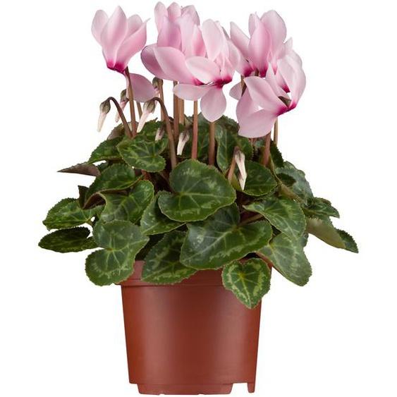 Alpenveilchen midi rosa 10,5 cm Topf 3er Set