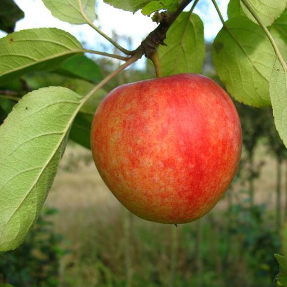 Apfel »Cox Orange«, Allergiker verträglich, winterhart, mehrjährig, 1 Pflanze