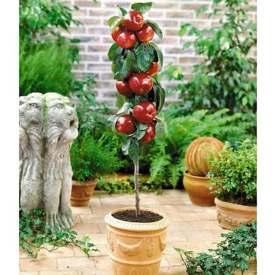 Apfel »Gala«, Obstbaum, sehr gute Befruchtersorte, süßfruchtig, 200 - 250 cm Wuchshöhe