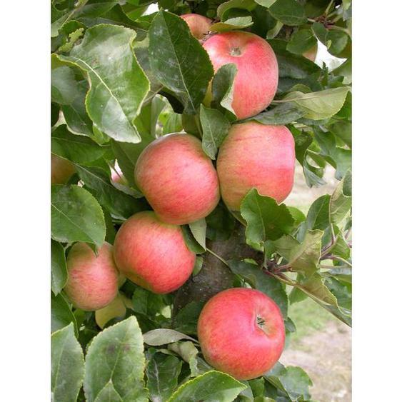 Apfel »Rhapsodie«, Säulenobst, 60 cm schmale Wuchsbreite, schorftolerant und winterhart
