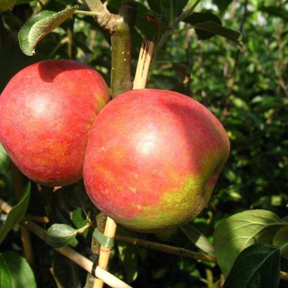 Apfelbaum »Roter Boskoop«, winterhart, 1 Pflanze, 80 bis100 cm Lieferhöhe