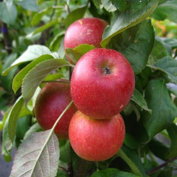 Apfelbaum »Starcats«, Säulenobst, Malus domestica, süßsäuerlich, winterhart, mehrjährig
