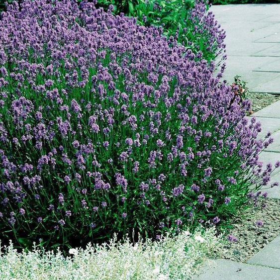 BCM Beetpflanze »Lavendel«