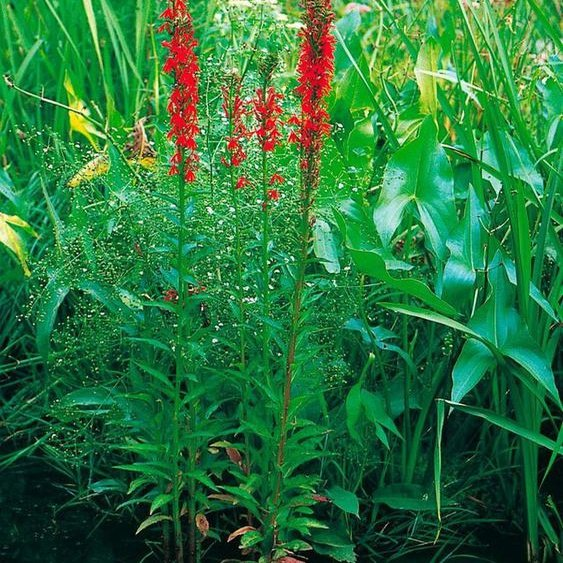 BCM Wasserpflanze »Lobelie« Set