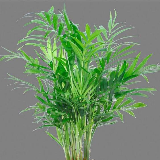 BCM Zimmerpflanze »Bergpalme«