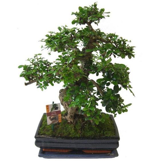 BCM Zimmerpflanze »Bonsai«