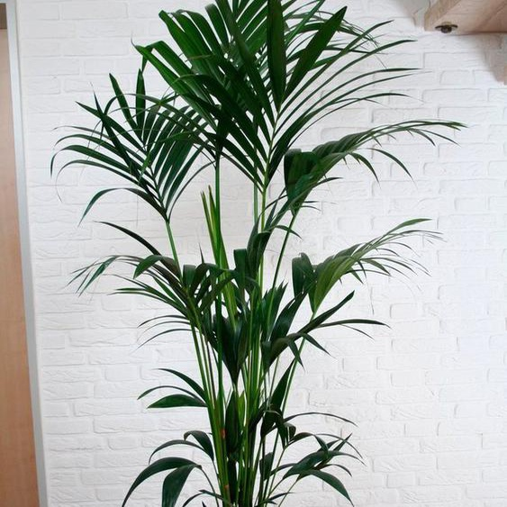 BCM Zimmerpflanze »Kentiapalme«