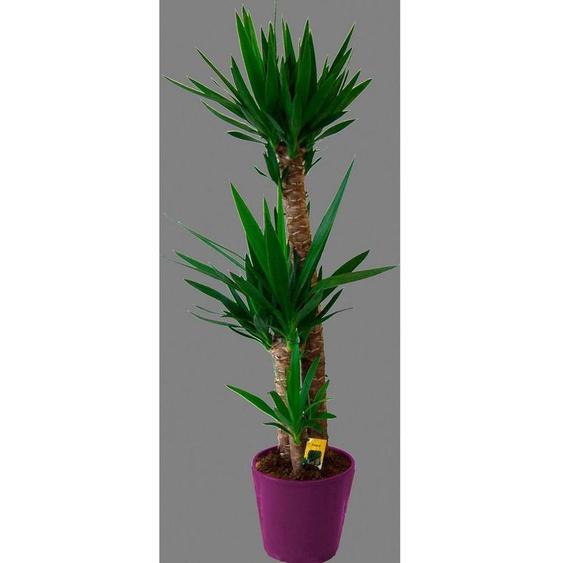 BCM Zimmerpflanze »Riesenpalmlilie«