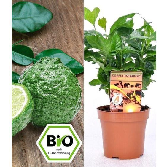 BIO Echter Kaffee & Kaffir-Limette zum Vorteilspreis, 2 Pflanzen