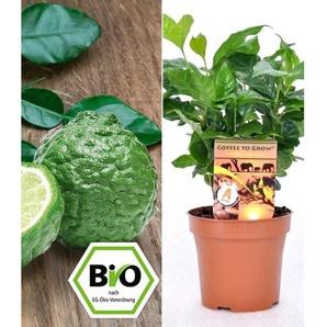Dummy Marke BIO Echter Kaffee & Kaffir-Limette zum Vorteilspreis, 2 Pflanzen
