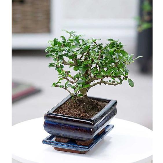 Bonsai Carmona,1 Pflanze