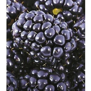 Brombeeren Big Max  XXL®, 1 Pflanze, Rubus fruticosus