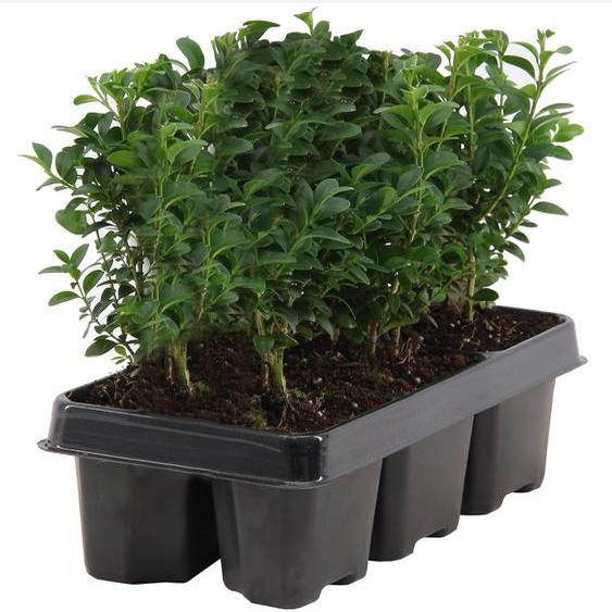 Buchsbaum 6er-Tray