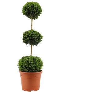 Buchsbaum-Stamm mit drei Kugeln, 31 cm Topf