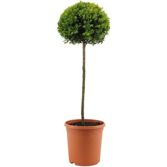 Buchsbaum-Stamm mit einer Kugel, 23 cm Topf