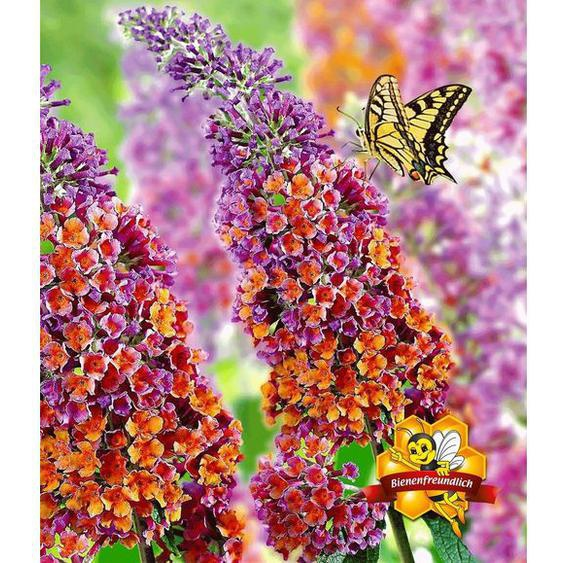 Buddleia Flower Power®-1 Pflanze