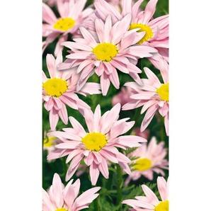 Bunte Staudenmargerite Robinsons Rosa, 9 cm Topf, 3er-Set