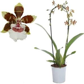 Cambria-Orchidee Jungle Monarch 1 Rispe rot/weiß, 12 cm Topf
