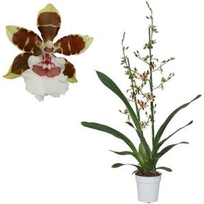 Cambria Orchidee Jungle Monarch 2 Rispen rot/weiß, 12 cm Topf